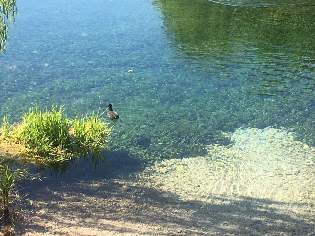 lago con papera